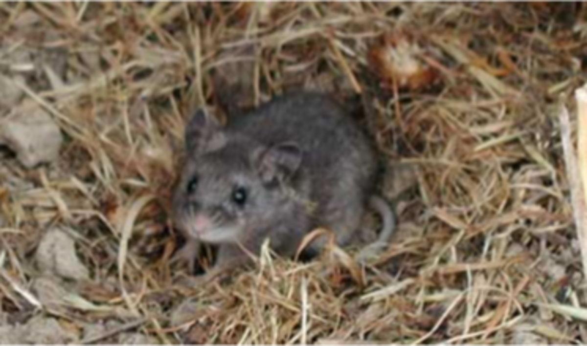 A typical rodent nest.