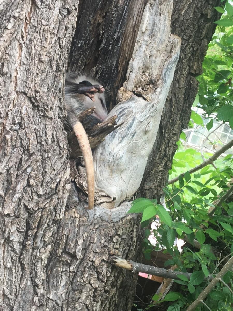 A mother possum snoozes after a storm.