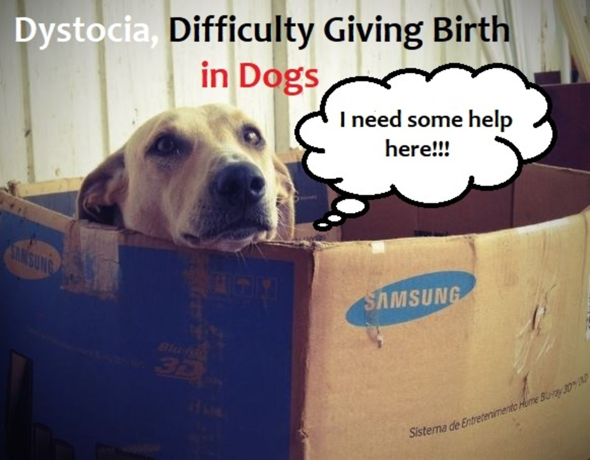 Managing Dystocia or Difficulty Giving Birth in Dogs