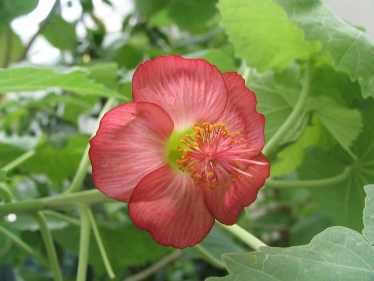 The Critically Endangered Abutilon Menziesii (Ko'oloa'ula) Plant: Endemic to Hawaii and Declining