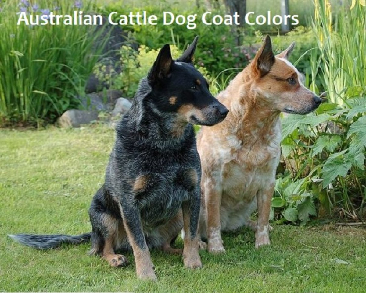 Australian Cattle Dog Coat Colors
