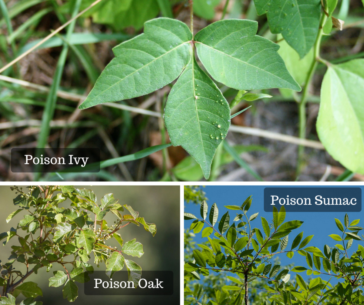 "This saying is a great way to remember what a poison ivy plant looks like: ""Leaves of three, let it be; berries white, take flight."""