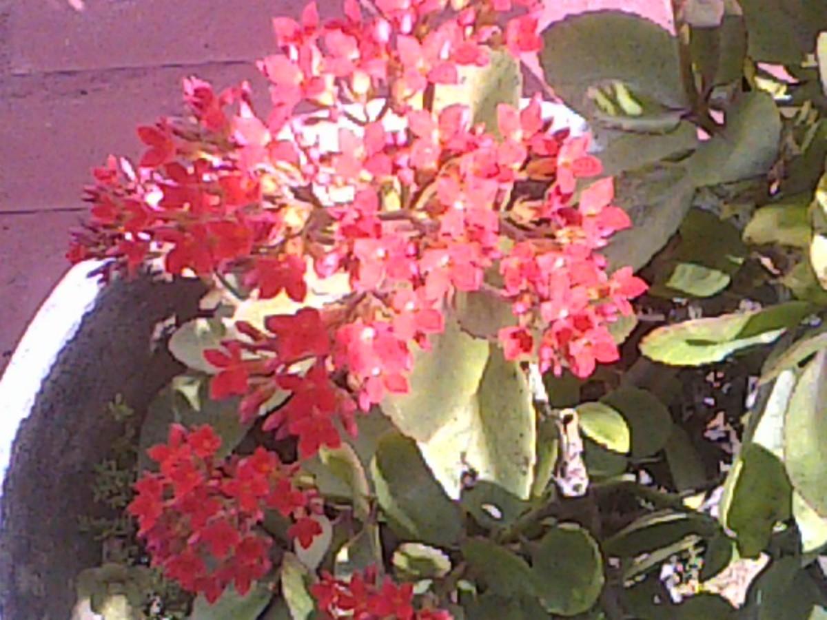 Flowering Wonder of The World Hybrid blooming.