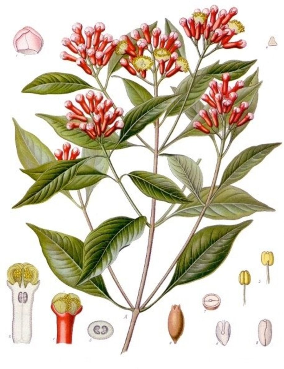 An illustration of the clove plant