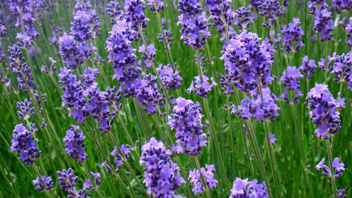 Lavender is a good scent for creating a peaceful, calm atmosphere in the bath.