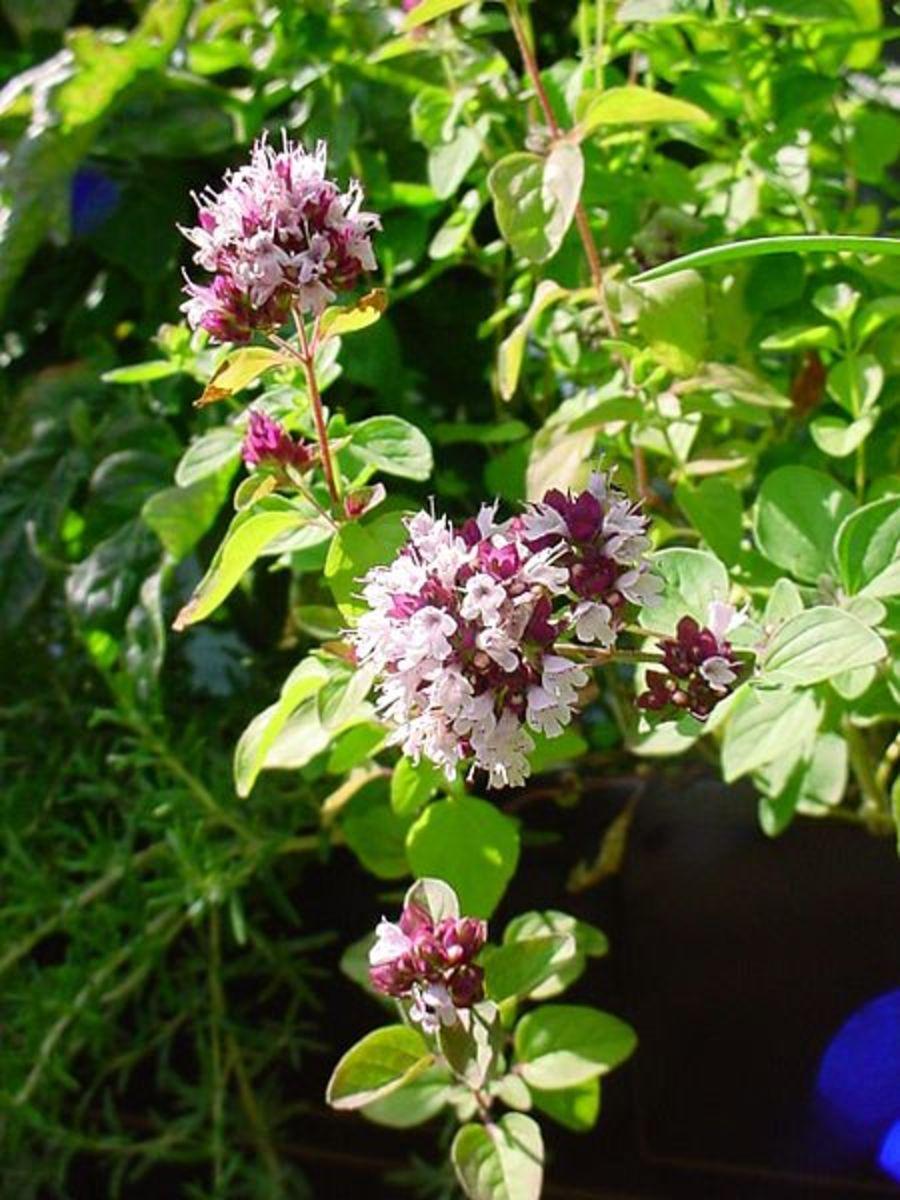 The flowering oregano plant