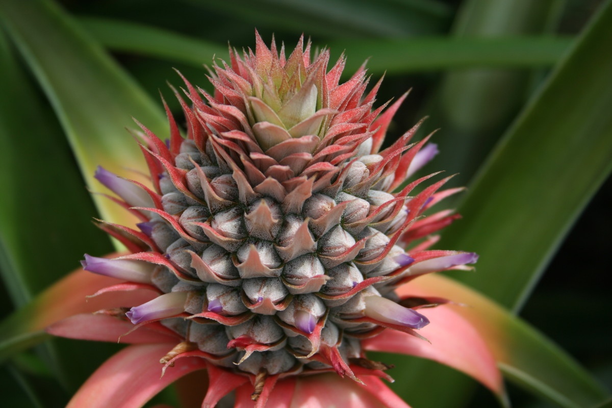 Immature pineapple has been used to cause intentional miscarriage in some countries: pineapple core has not been studied for its safety or efficacy in trying to conceive.