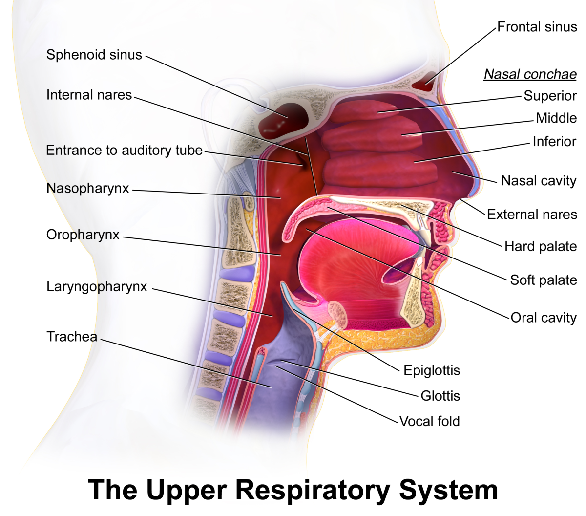 Upper Respiratory System Diagram