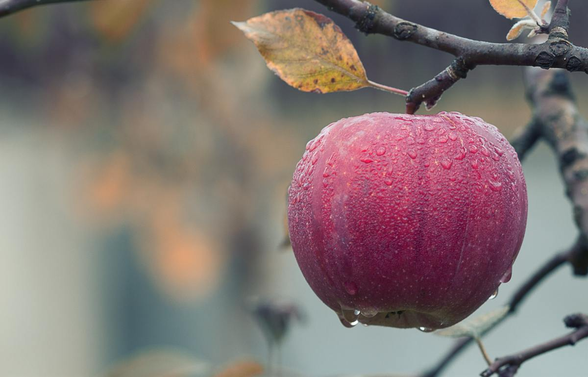 An apple hangs from a branch, ripe and ready for picking.