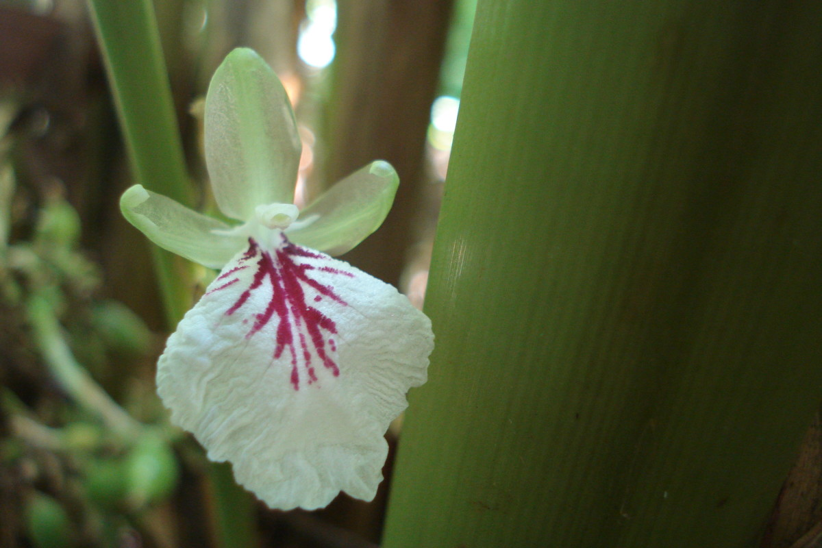 Flower of Cardamom Plant