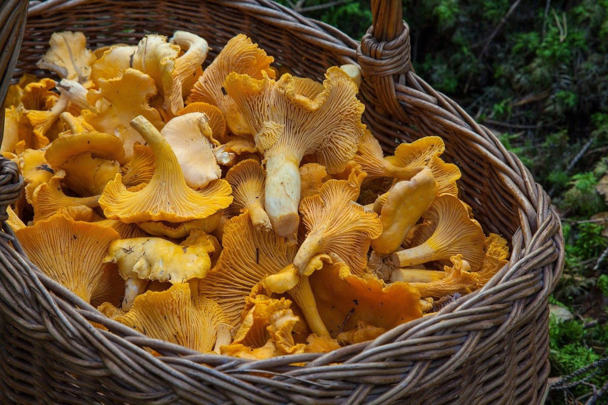 Chanterellle is one of the most popular of the wild edible mushrooms