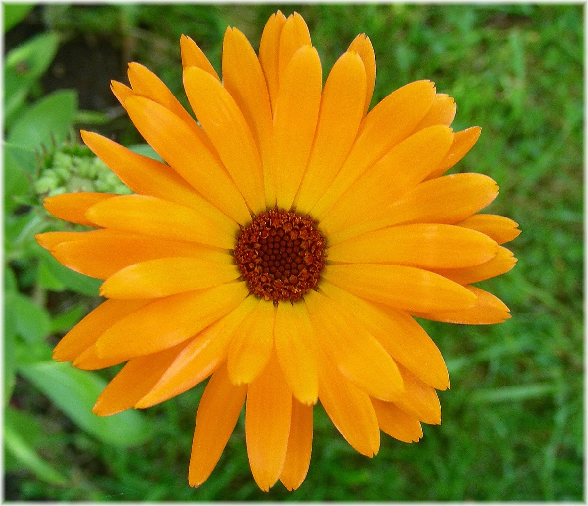 Lotions and creams that contain marigold are effective in treating psoriasis.