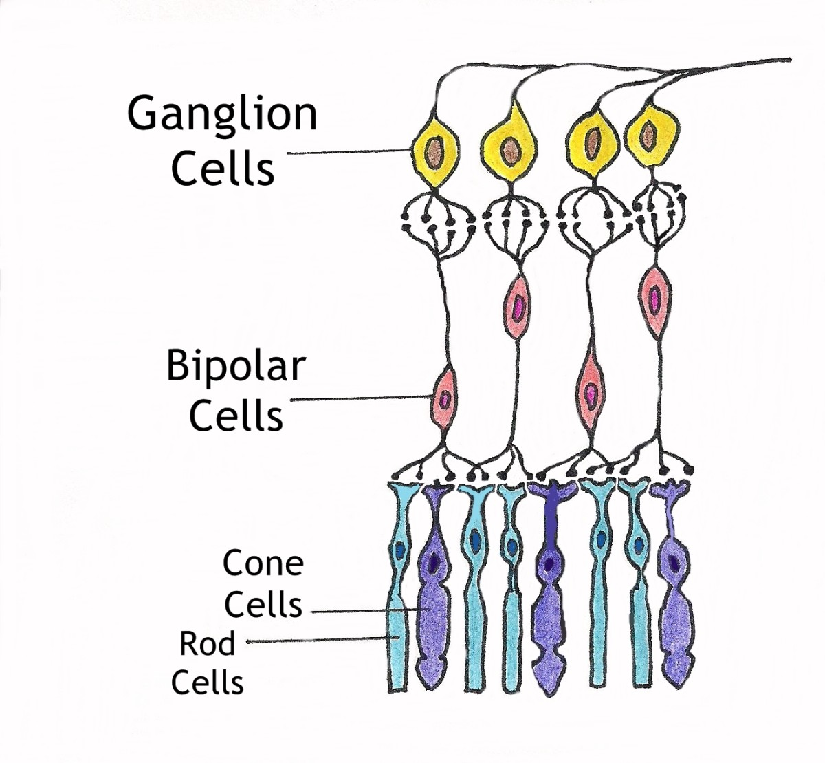 A diagram of the neuronal and photoreceptor layers of the retina. The ganglion and bipolar cells make up the neuronal layer and the rods and cones make up the photoreceptor layer.