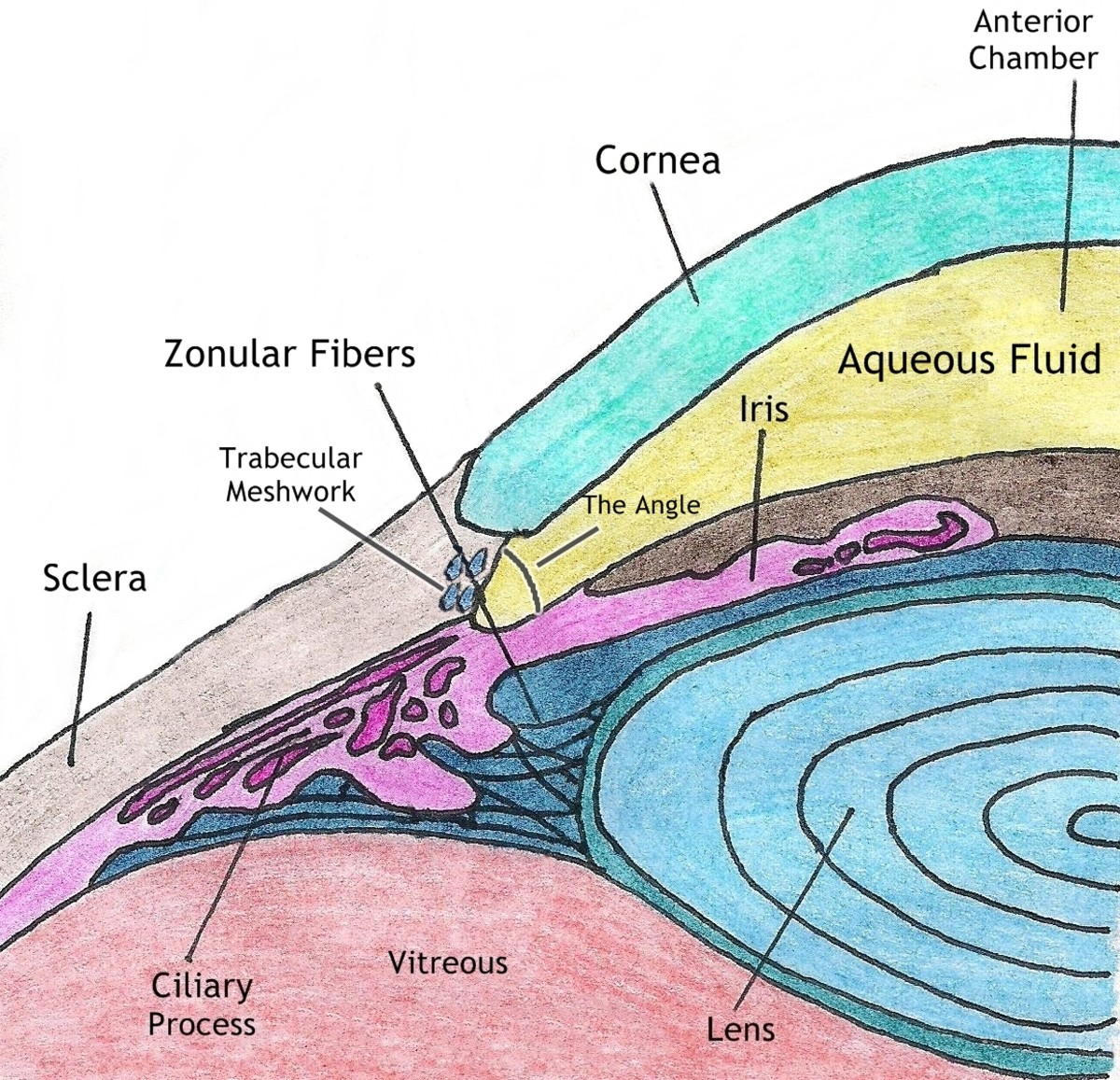 The anatomy of the lens showing zonular fibers.