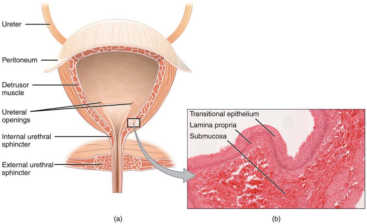 The bladder isn't an invincible organ. It can be damaged but can also be healed.