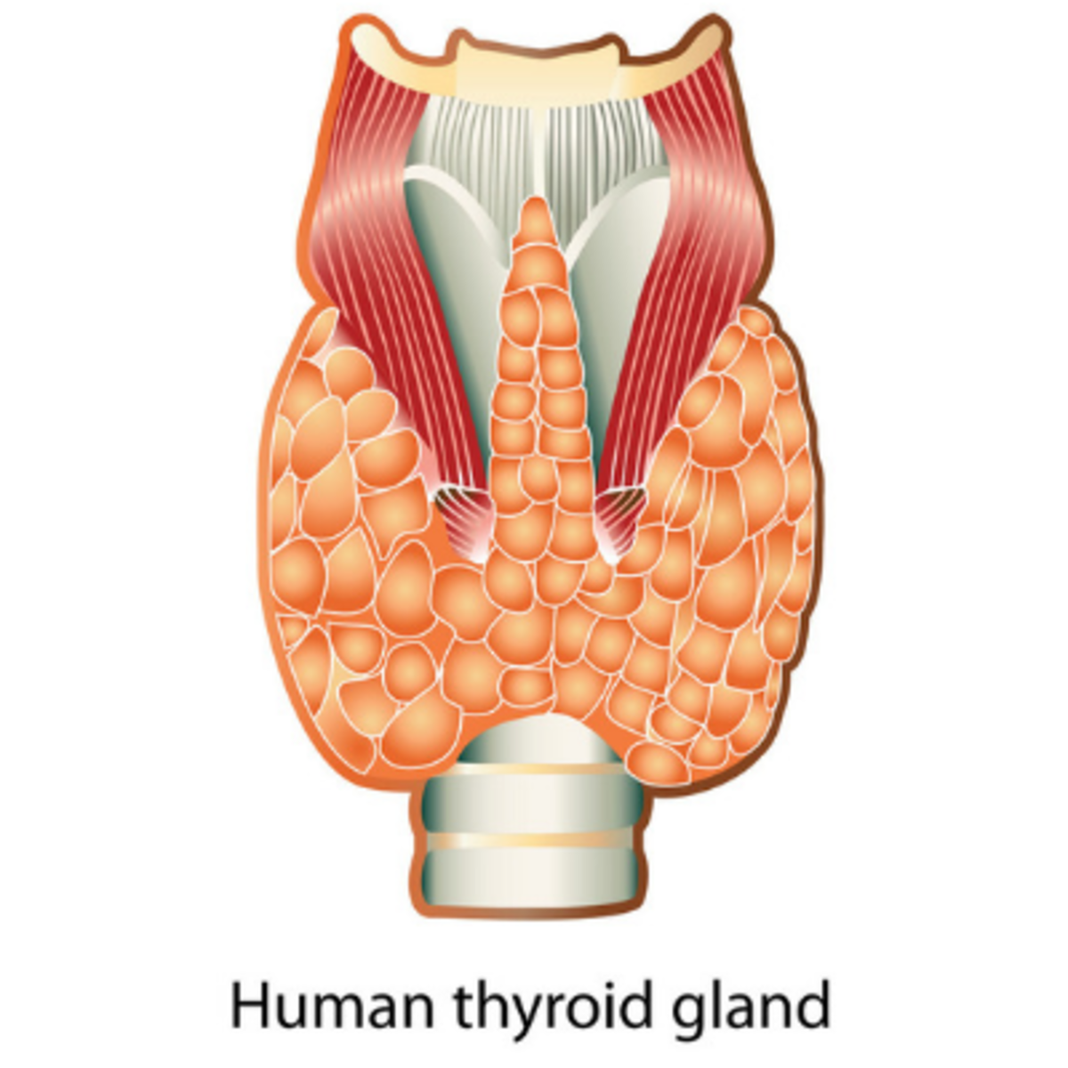 The thyroid is a butterfly-shaped gland on the front of the neck which produces hormones.