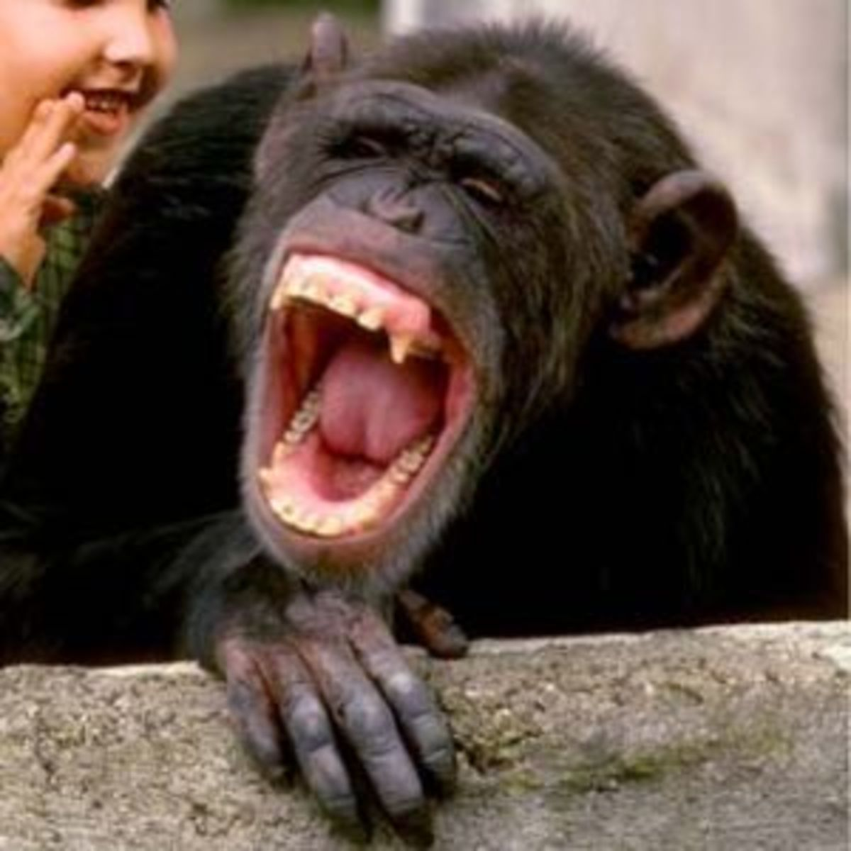 Even Chimps Have to Laugh