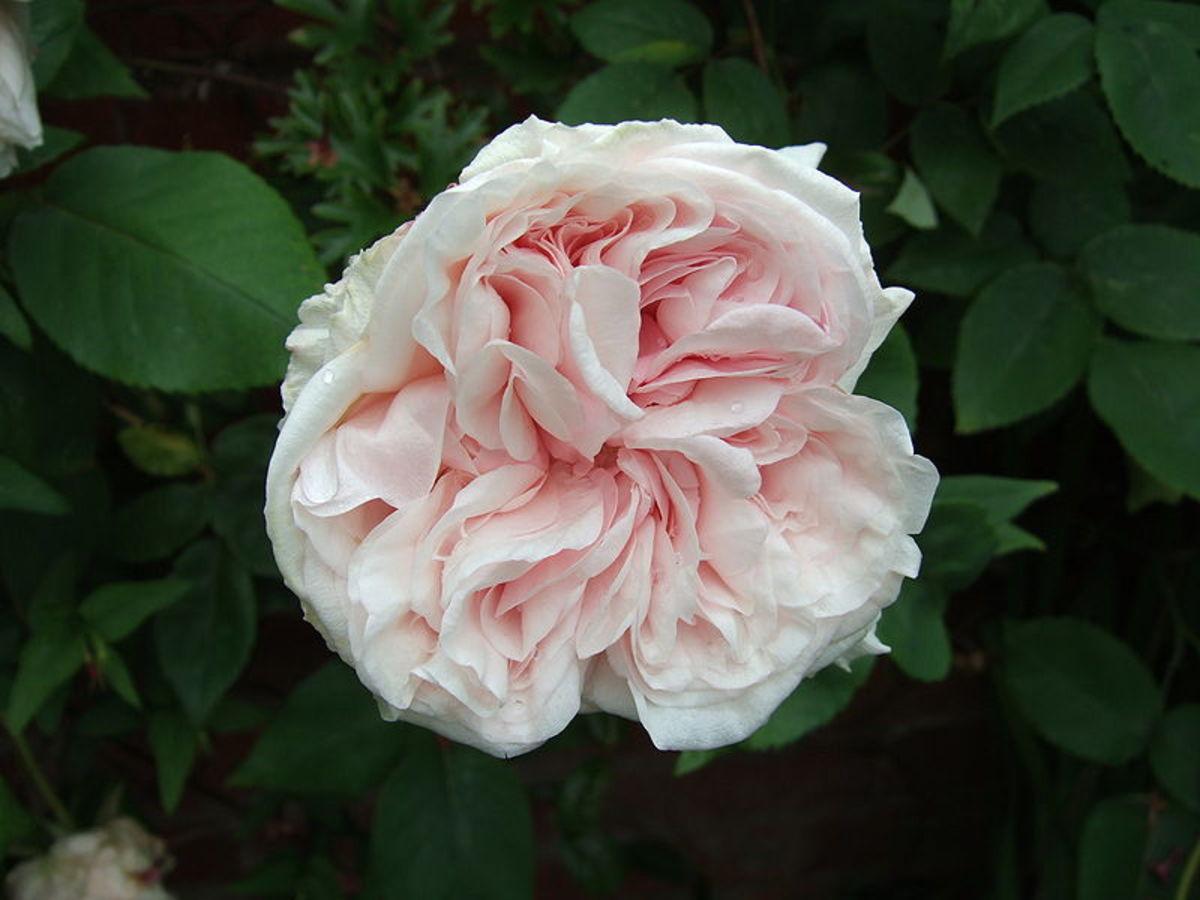 """A """"Climbing Souvenir de la Malmaison"""" rose flower."""