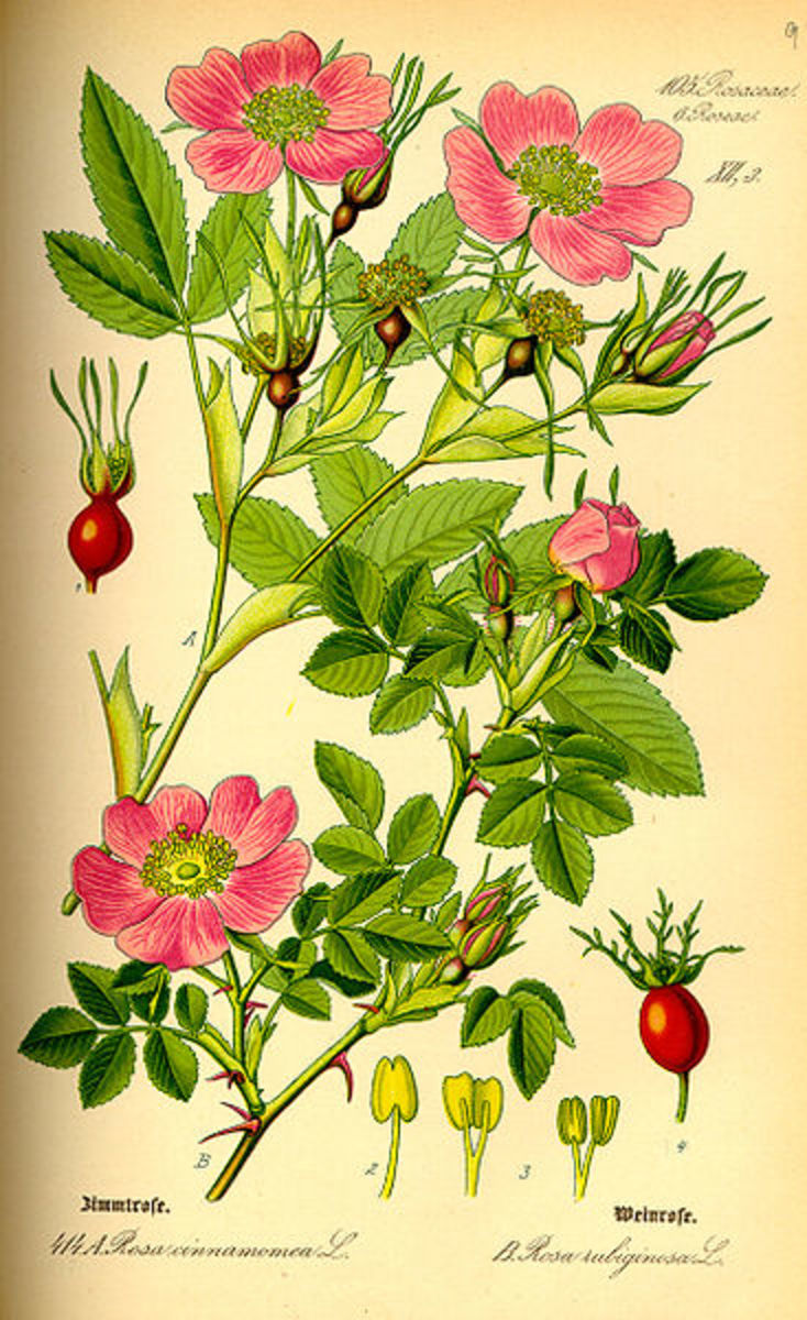 Drawing of Rosa Majalis from an 1885 German botany book.