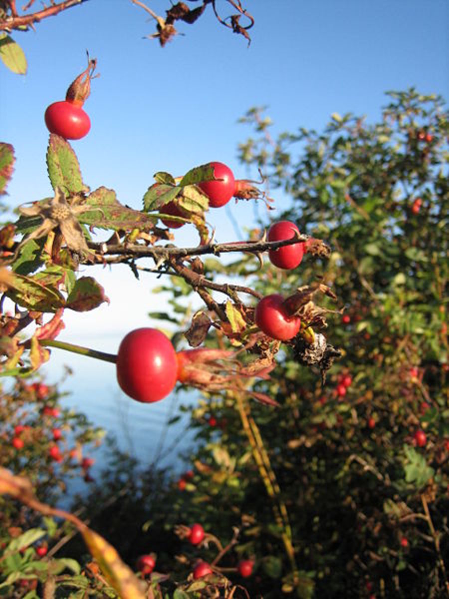 Wild rosehips growing in late summer. Photo is in the public domain.