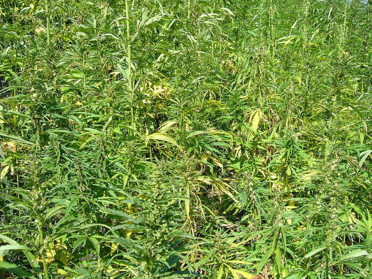 A field of cannabis flower plants (low THC) growing in the UK. This image is in the public domain.