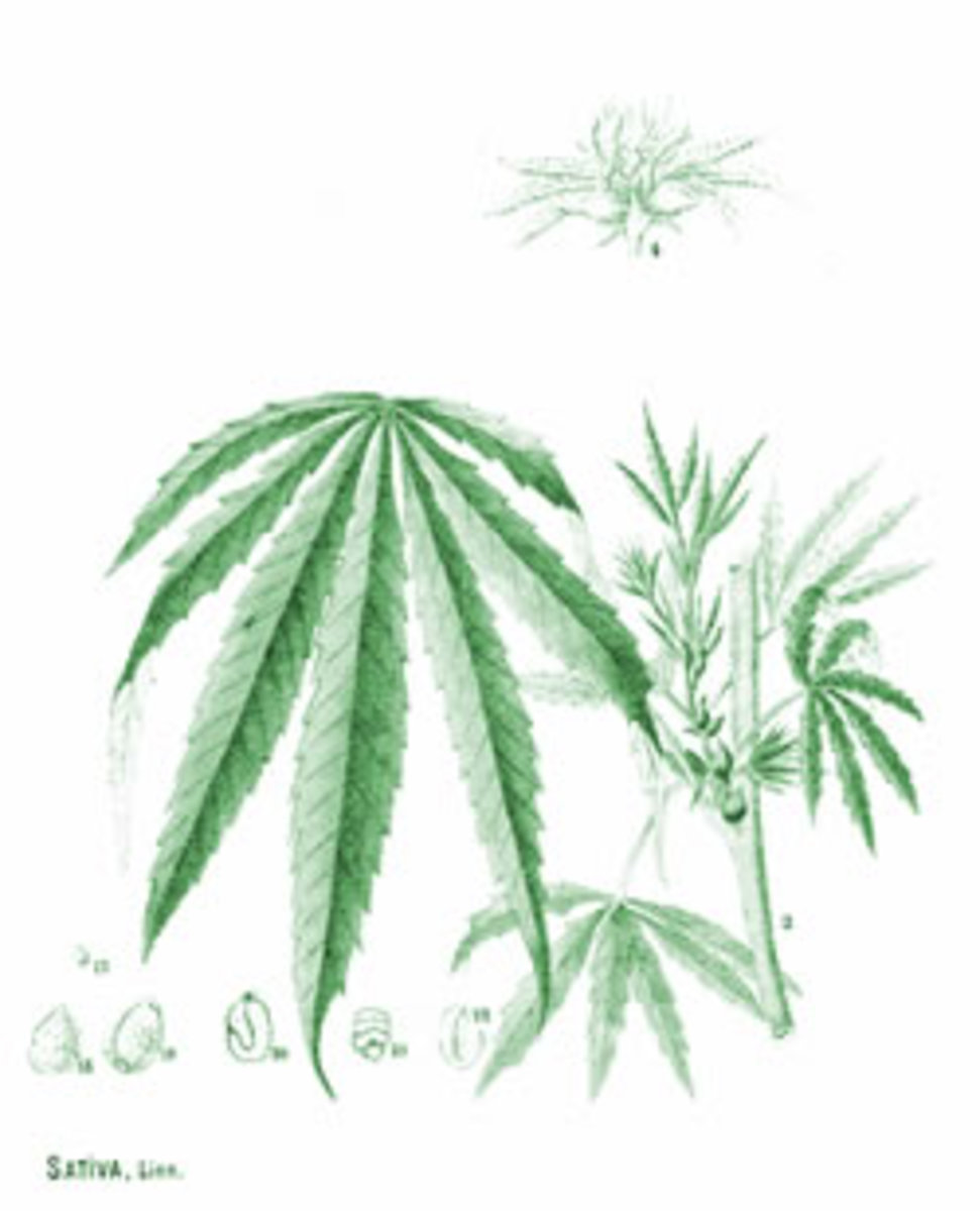"Drawing from 1890 book, ""American Medicinal Plants"""