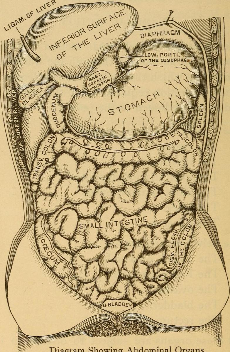 Diagram of the abdominal organs.