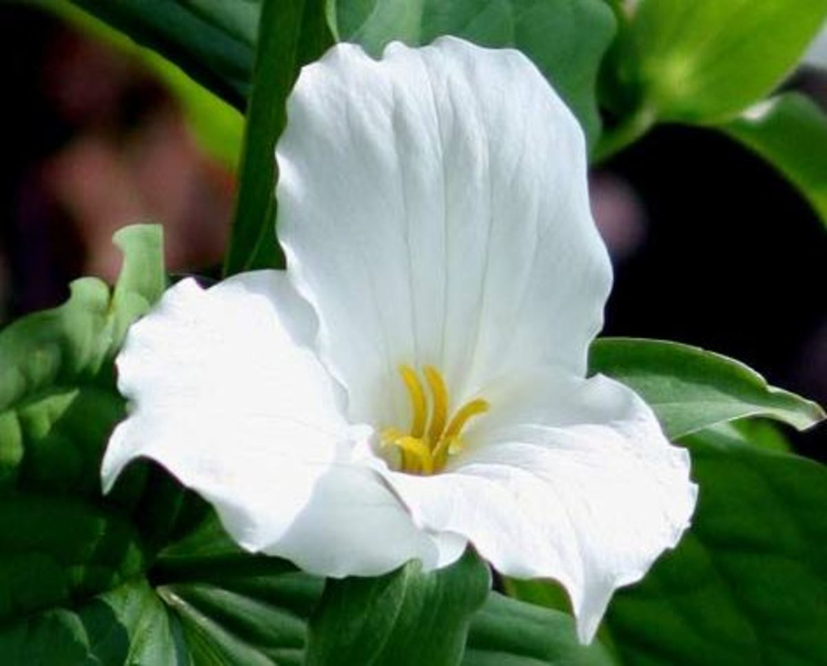 Birth Root Flower: White Trillium, the Official Ohio Wildflower.