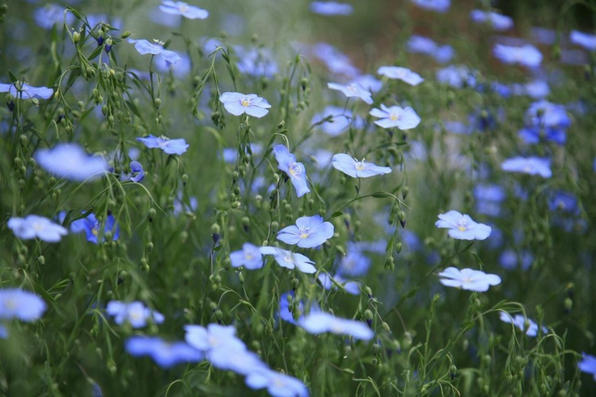 Flax makes a lovely and drought-tolerant garden plant as well, growing in clumps and drifts. Whole fields are grown in some places, for oil, linen, etc.