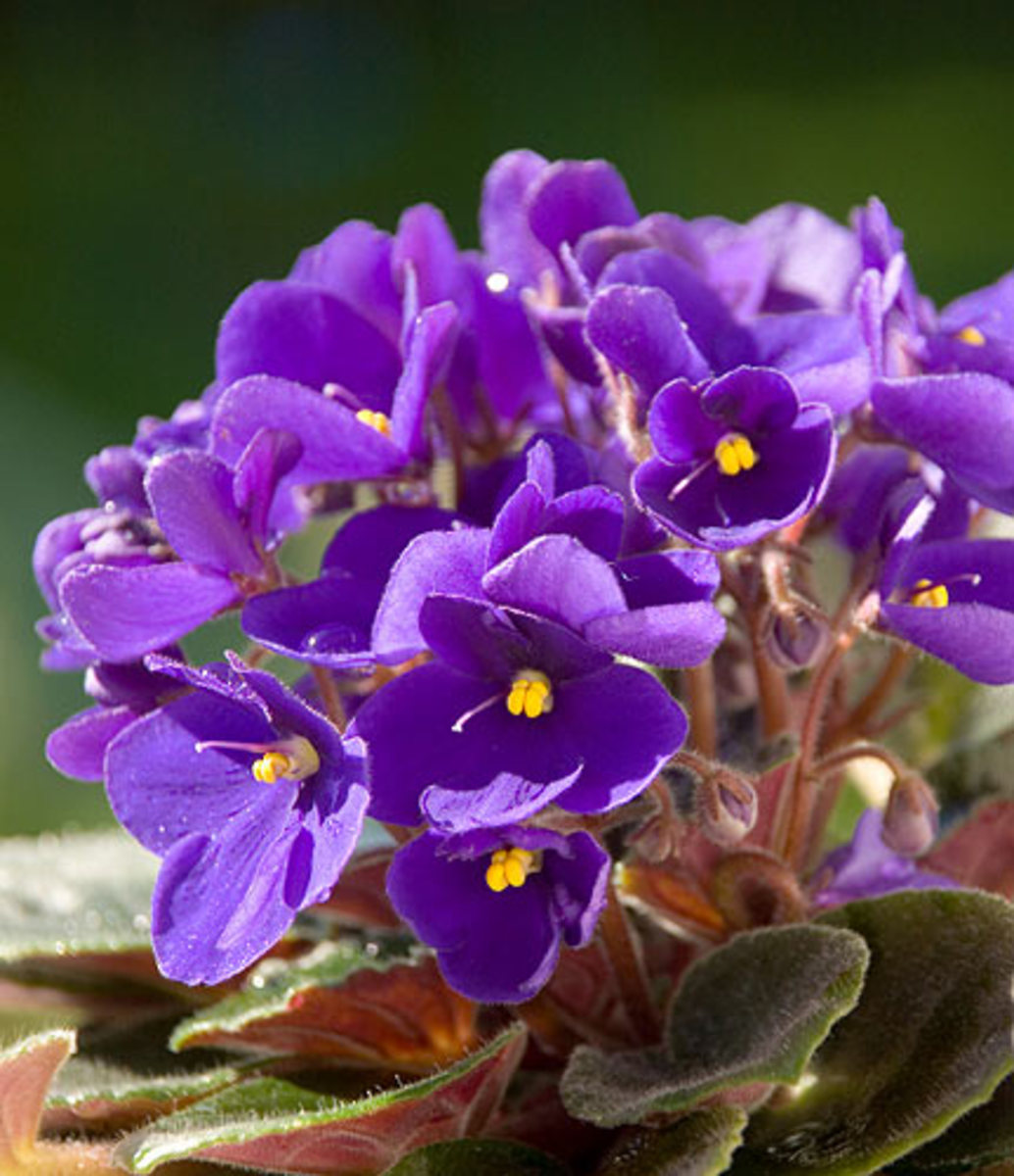 Violets can help relieve menopausal symptoms.