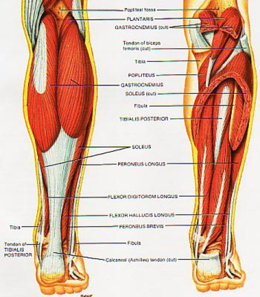 Shin anatomy
