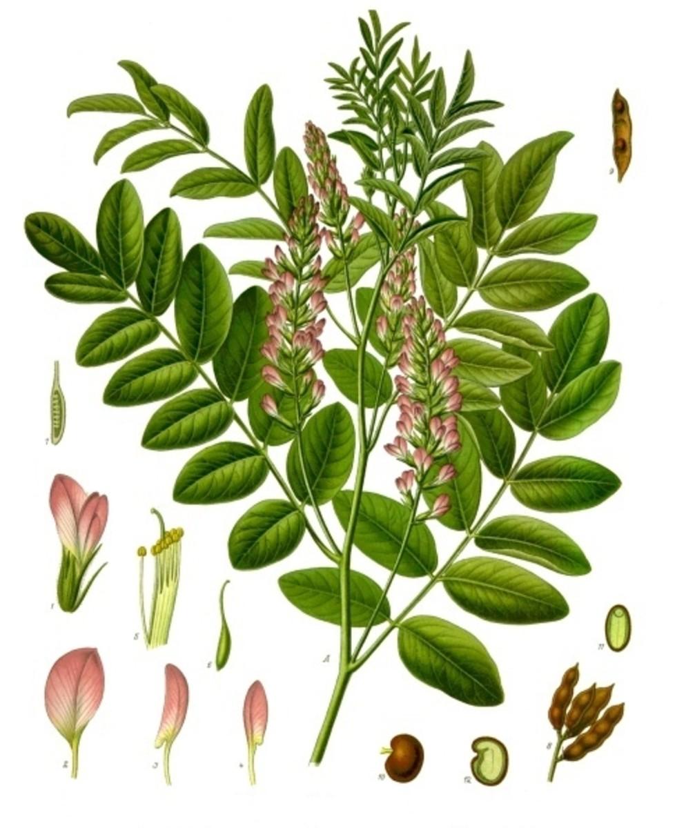 A licorice plant