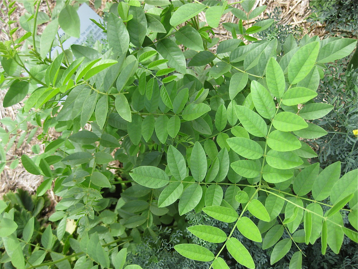 Leaves of licorice (Glycyrrhiza glabra)