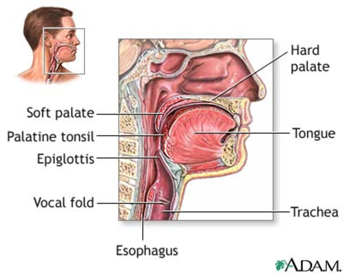 Anatomy of the throat