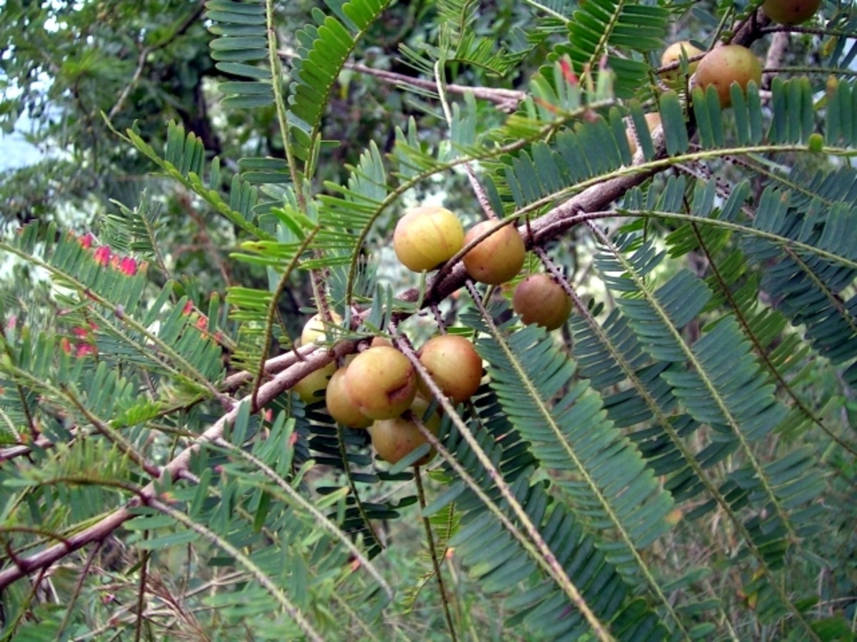Amalaki, an edible fruit, is incorporated into triphala, an Ayurvedic remedy said to relieve constipation.