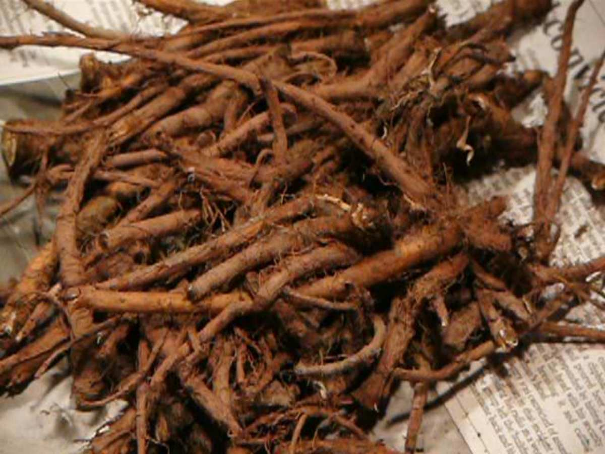 Dandelion root from two-year-old plants. Root can be dried for later use.