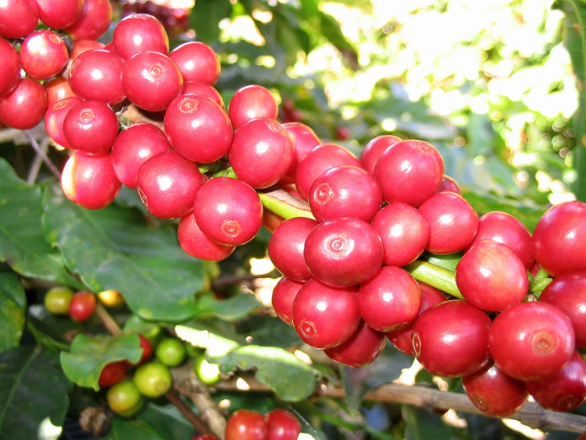 These beautiful red berries are the fruit of a variety of coffee arabica.