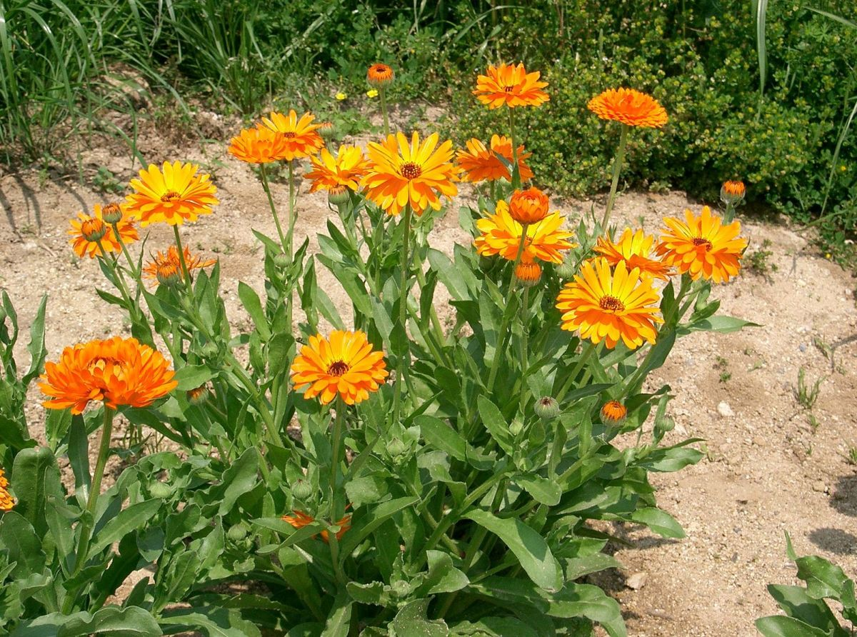 Calendula officialis, also known as calendula.
