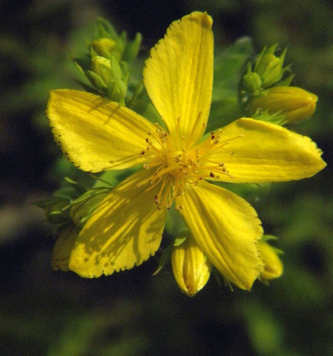 St. John's Wort contains hypericin, which acts as a natural antiviral against herpes.