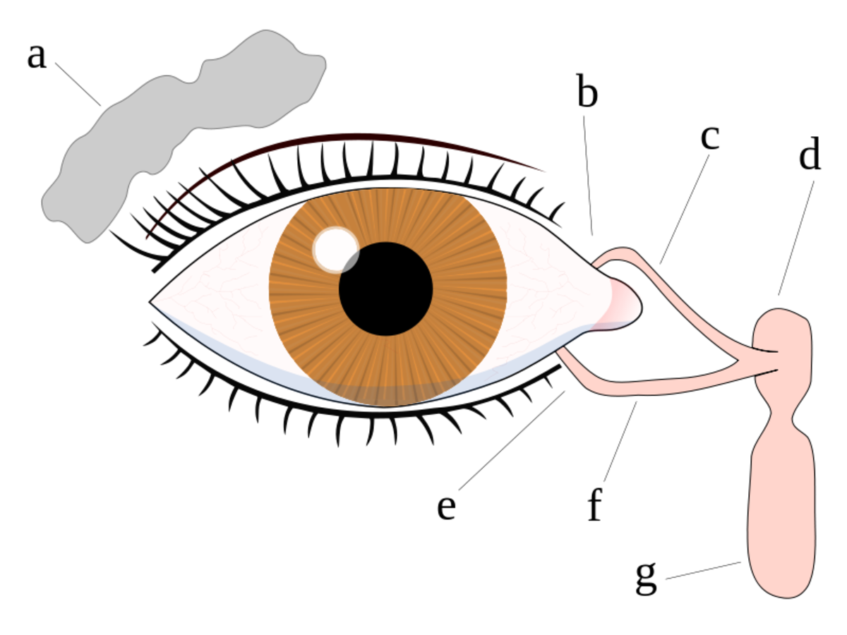 The tear system of the human eye