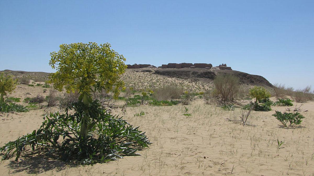 The Ferula assafoetida plant in Uzbekistan.