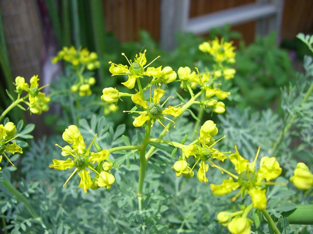 Rue plant with flowers