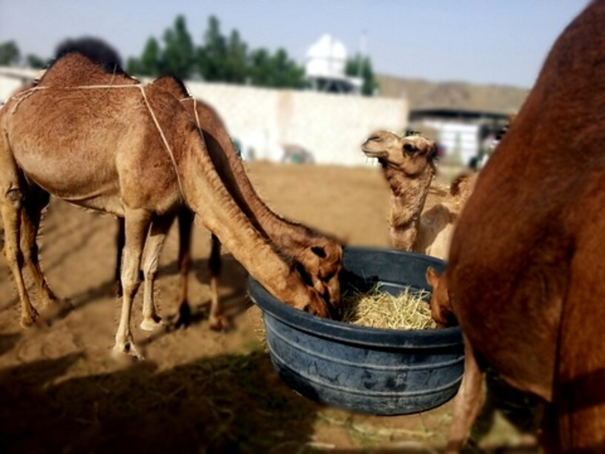 Camel milk taste will vary according to the diet and the amount of water the camel had drunk.