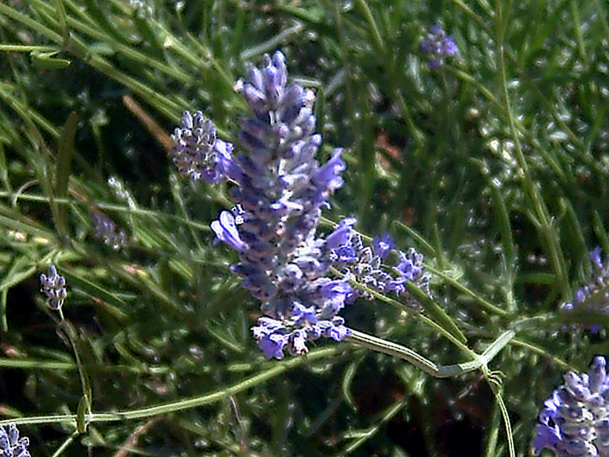 Adding lavender with hops is the icing on the cake!