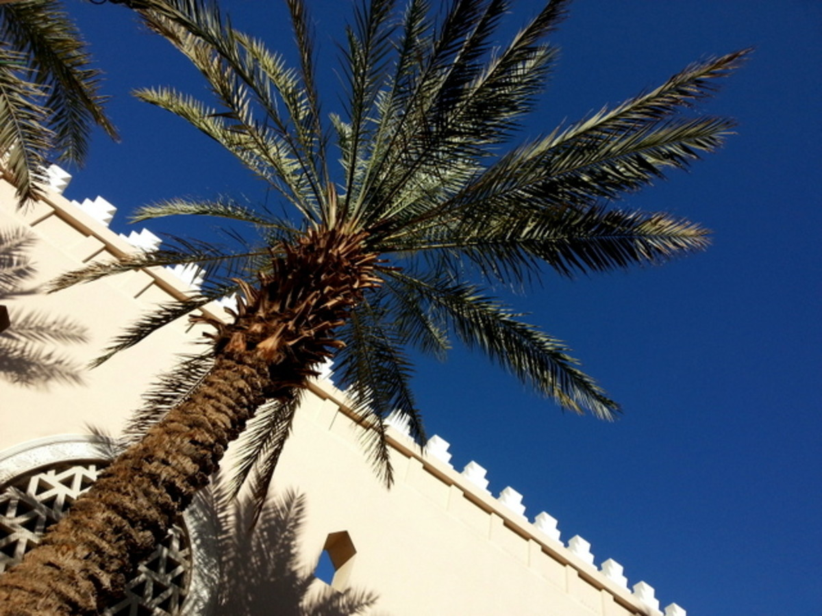 Date palm trees are great as ornamental plants and are used extensively in landscaping in the Middle Eastern countries