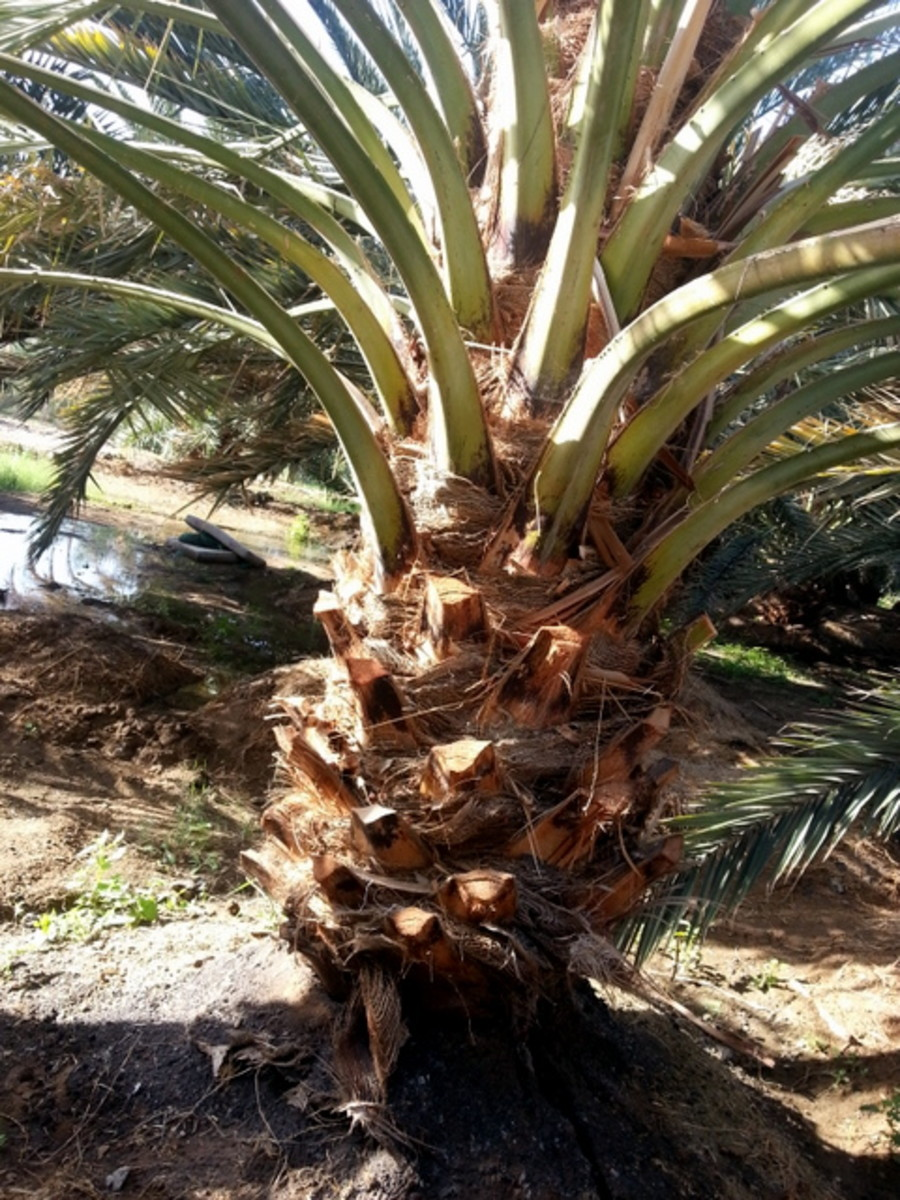 Date palm leave stalk or spine may look long and slender, but is strong and has been used for construction in traditional houses