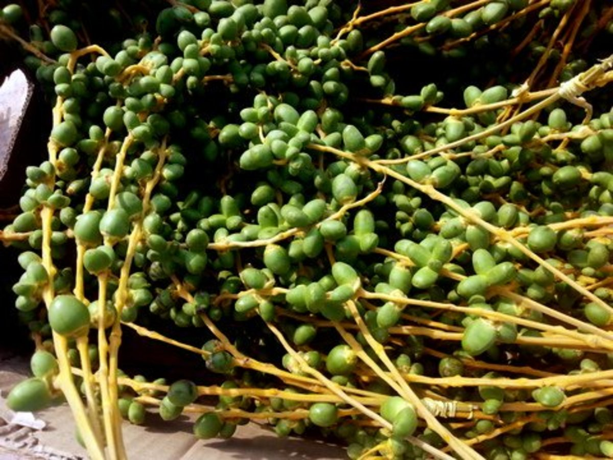 Young unripe date fruits are claimed to be fertility food, helping women to conceive
