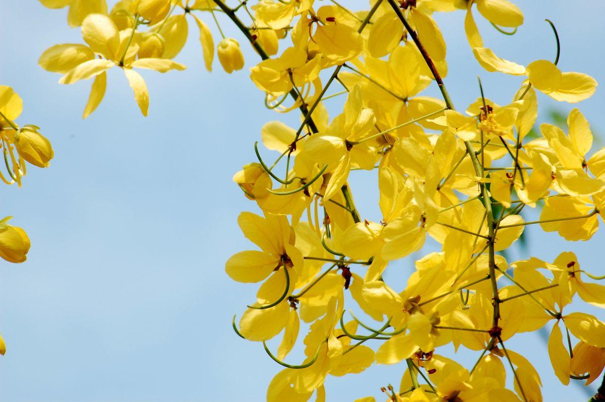 Amaltas flowers