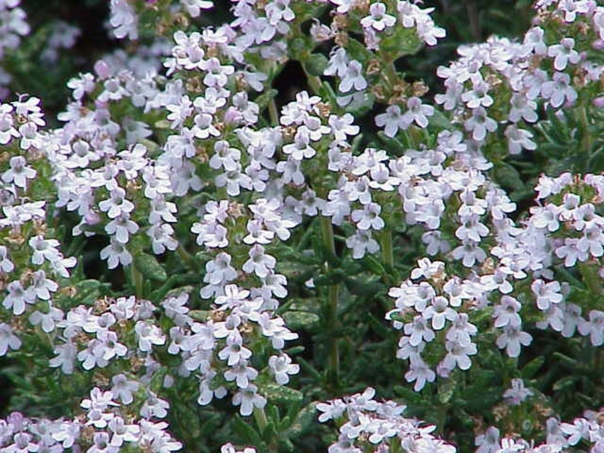 Thymus vulgaris, or the common thyme