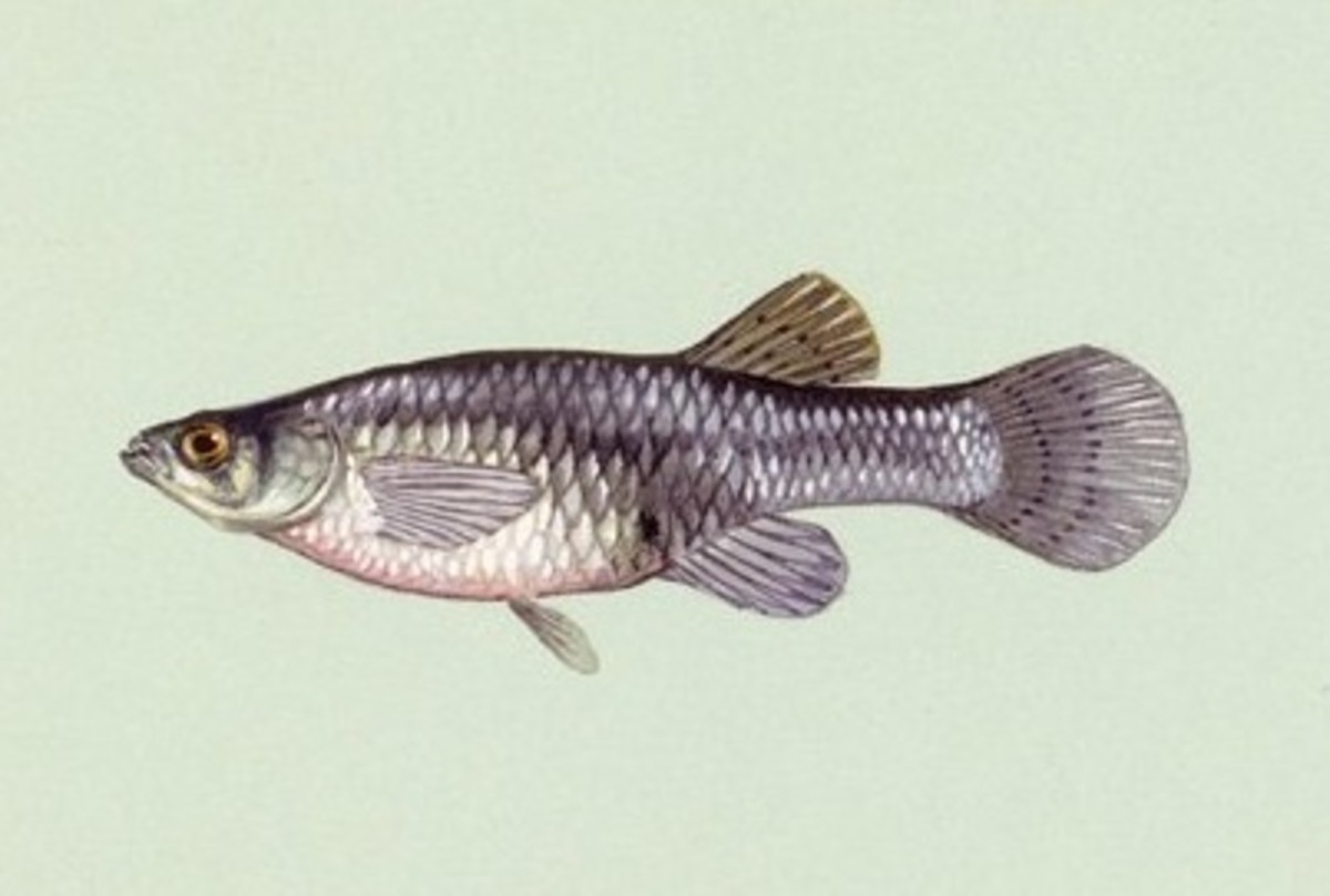 A single mosquitofish can eat mosquito larvae as fast as 100 per day.